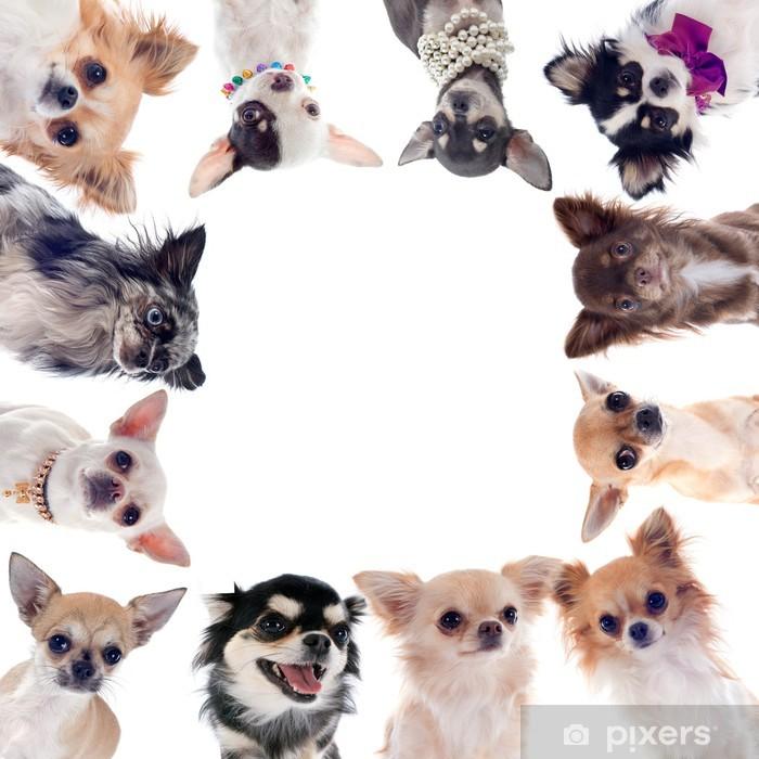 Plakát Skupina čivavy - Savci
