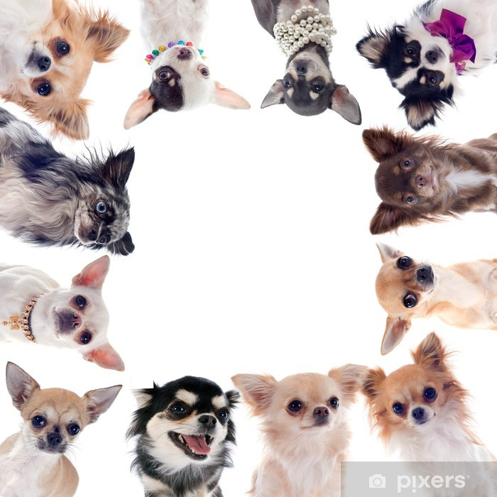group of chihuahuas Poster - Mammals