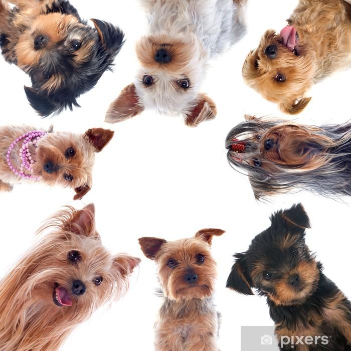 Vinyl Fotobehang Yorkshire terriers - Zoogdieren