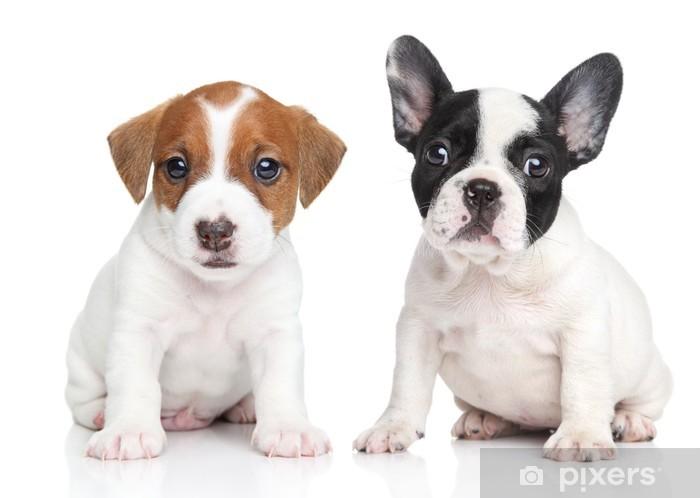 Fototapete Jack Russell Terrier Und Franzosisch Bulldogge Welpen Pixers Wir Leben Um Zu Verandern
