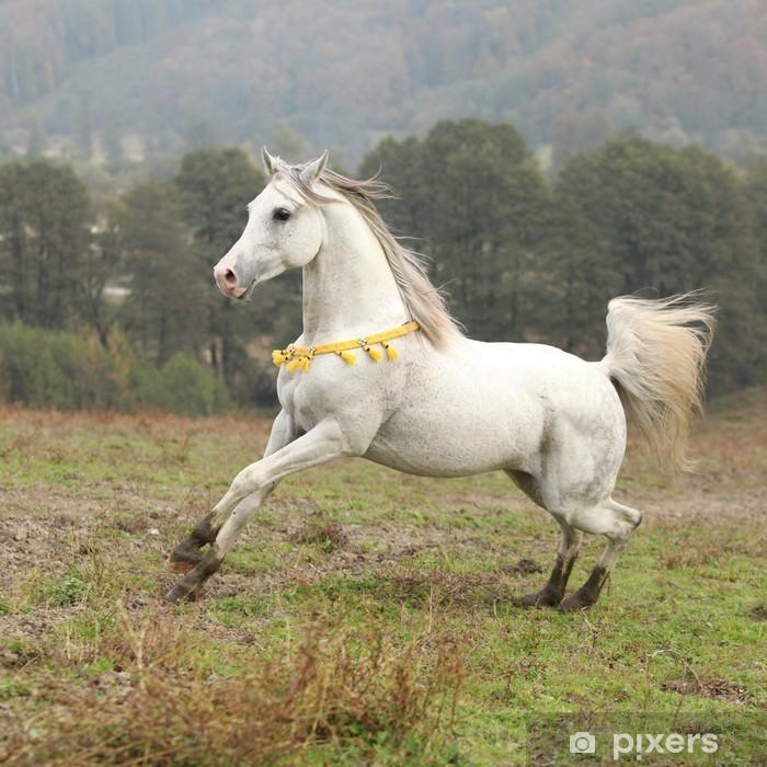 Nice white arabian stallion with flying mane Poster - Mammals
