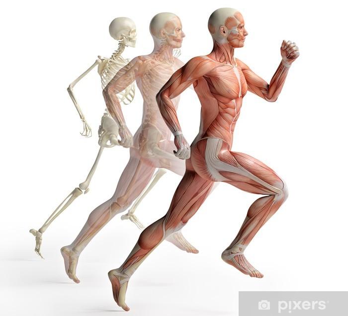 Vinyl Fotobehang Mannelijke anatomie running - Gezondheid en Geneeskunde