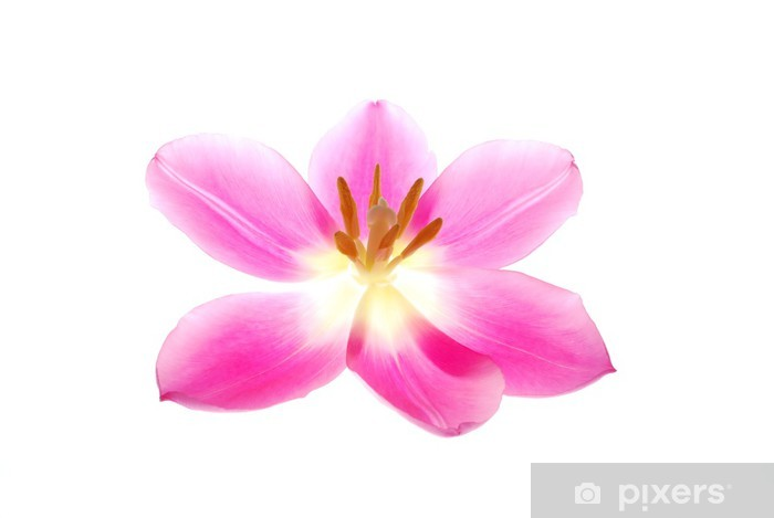 Close Up Of Single Pink Tulip Flower On White Background Wall Mural