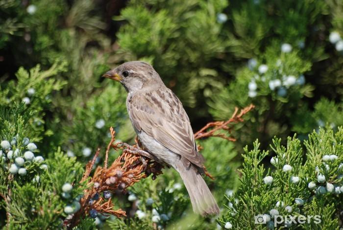 Naklejka Pixerstick Piaf - Ptaki