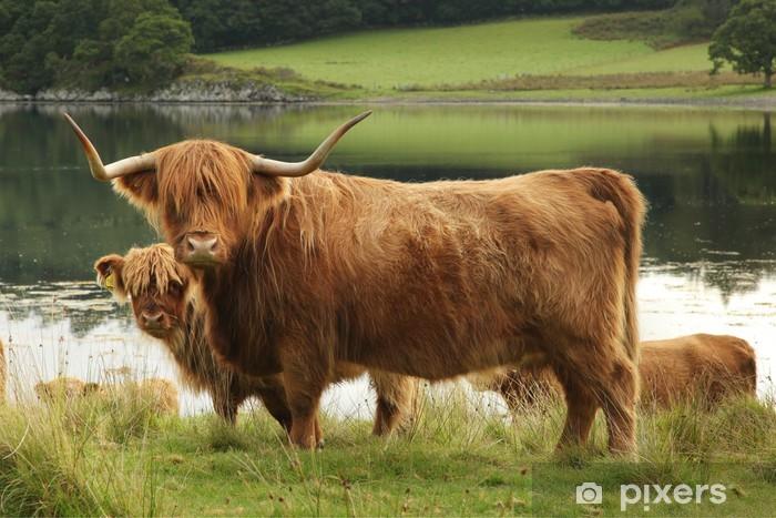Papier peint vinyle Écossais vache écossaise dans le domaine - Mammifères