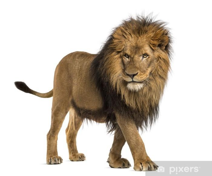 Poster Vue de côté d'un pied de lion, Panthera Leo, 10 ans - Mammifères