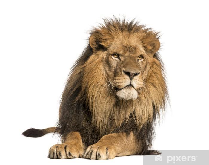 Vinyl Fotobehang Vooraanzicht van een Leeuw liggend, Panthera Leo, 10 jaar oud, geïsoleerd - Zoogdieren