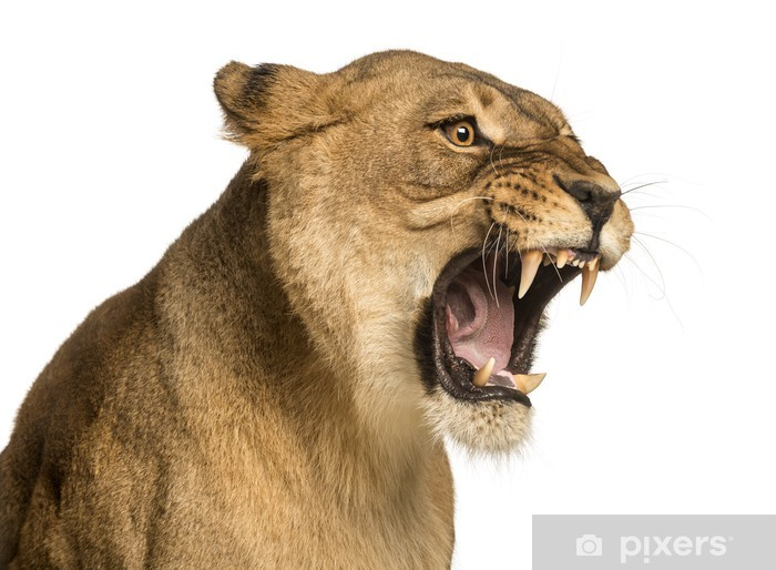 picture of lioness roaring