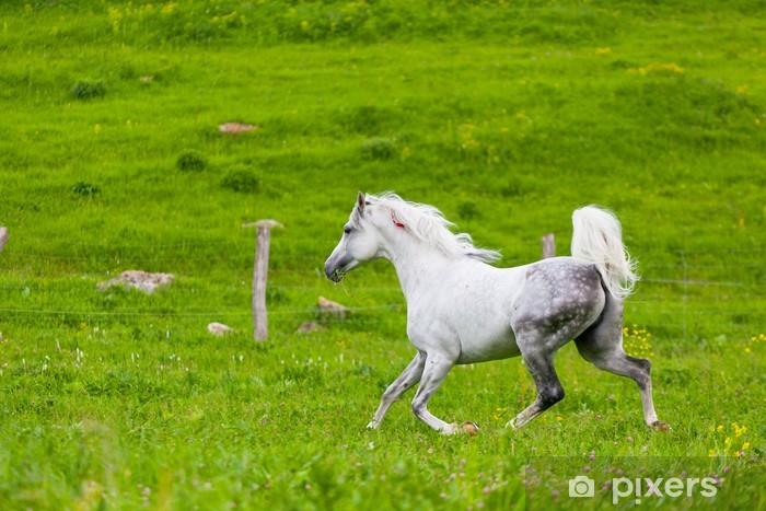 Carta Da Parati Grigio Galoppa Cavallo Arabo Su Un Prato Verde