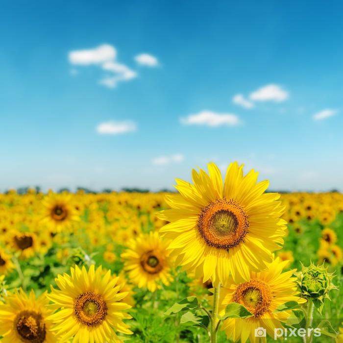 Fototapet Solig dag på fält med solrosor • Pixers® - Vi lever för förändring