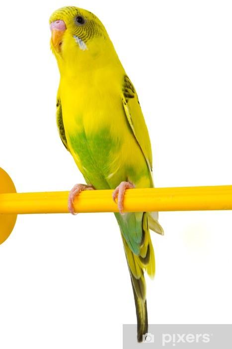 Sarı Muhabbet Kuşu Duvar Resmi Pixers Haydi Dünyanızı Değiştirelim
