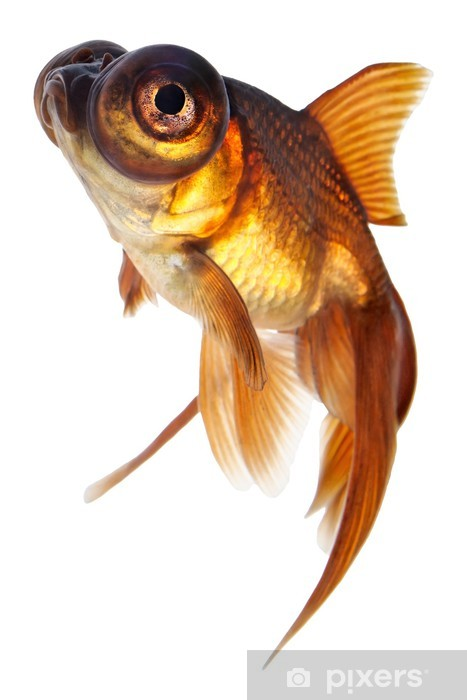 Telescope Eye Goldfish Mounted Print