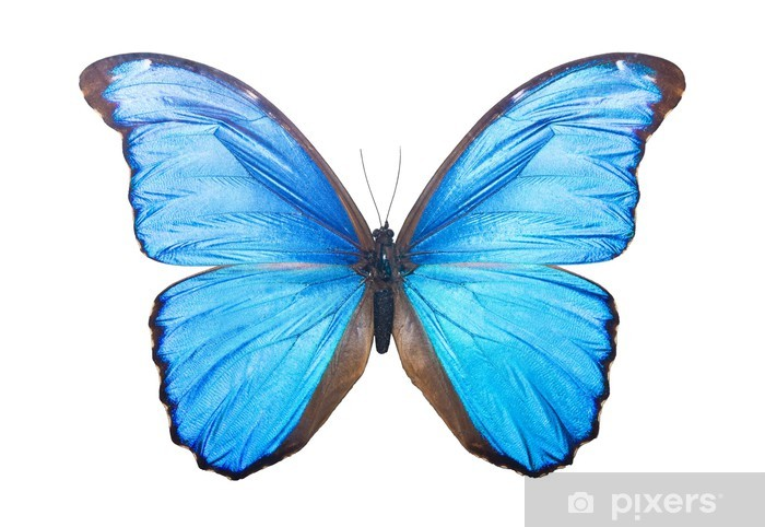 Butterfly Morpho Didius Sticker Pixers We Live To Change
