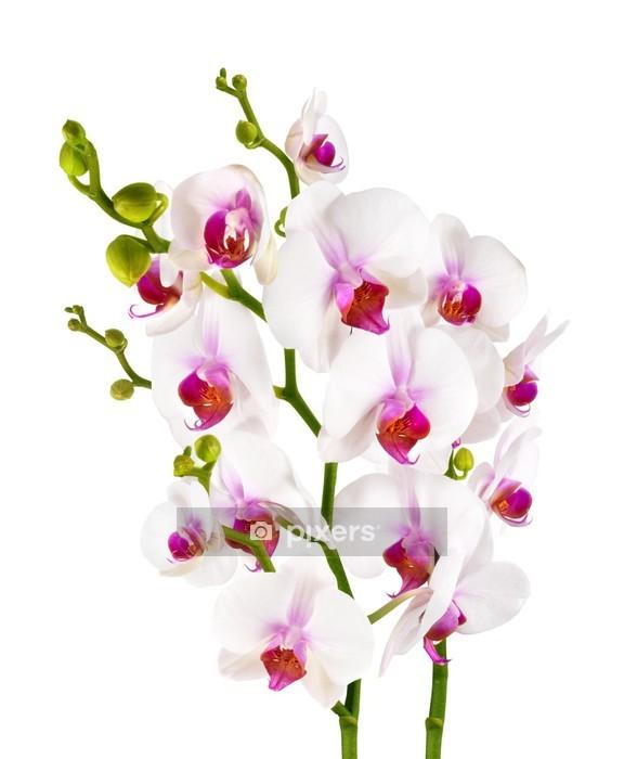 Sticker mural Élégantes orchidées blanches - isolés - Sticker mural