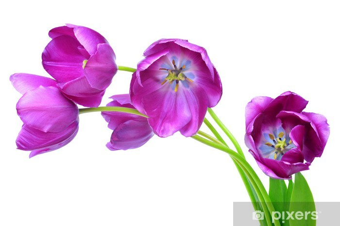 Vinylová fototapeta Fialové tulipány izolovaných na bílém pozadí - Vinylová fototapeta