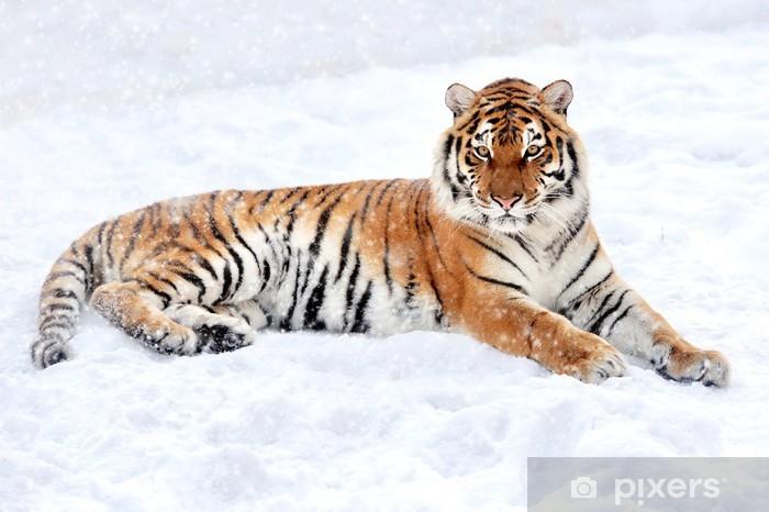 Fototapeta winylowa Tygrys - Ssaki