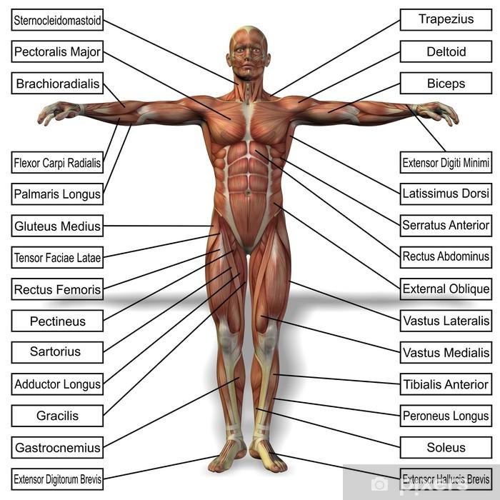 Vinyl Fotobehang 3D menselijke man anatomie met spieren tekst - Lichaamsdelen