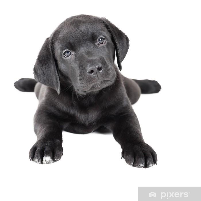 Vinylová fototapeta Labrador štěně na bílém pozadí ve studiu - Vinylová fototapeta