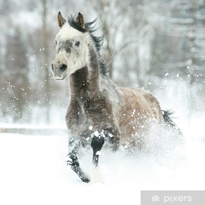 Plakat Wspaniały koni arabskich jazdy w zimie - Ssaki