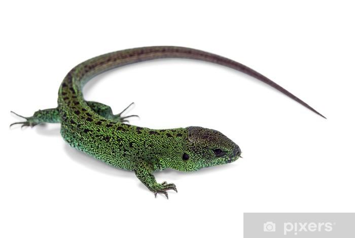 Fototapeta winylowa Zielona jaszczurka - Inne Inne