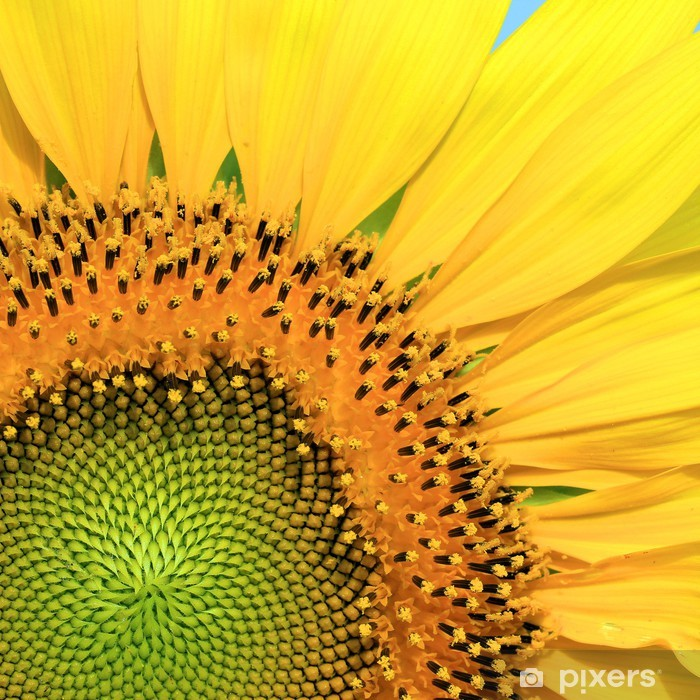 Closeup of beautiful sunflower Pixerstick Sticker - Themes