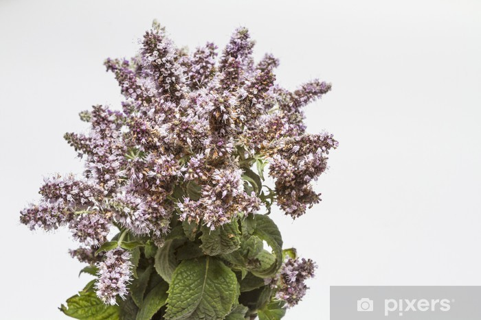 Naklejka Pixerstick Kwitnąca gałąź mięta - Zdrowie i medycyna