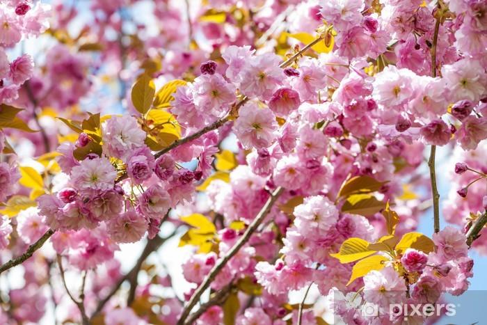 Fototapeta winylowa Wiśniowe kwiaty na gałęzi drzewa wiśni wiosna - Tematy