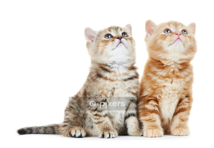 Muursticker Geïsoleerd Brits korthaar kitten kat - Bestemmingen
