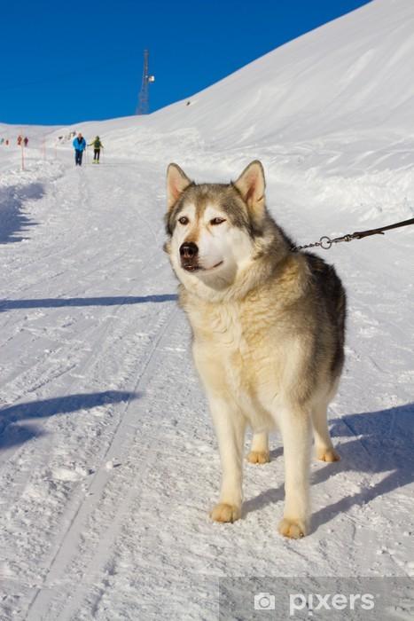 Fotomural Estándar Perro husky en la nieve - Mamíferos