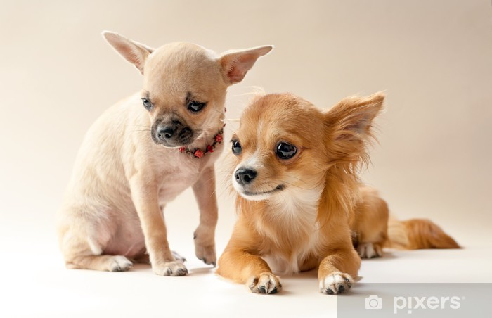Two sweet chihuahua puppies on neutral background Lack Table