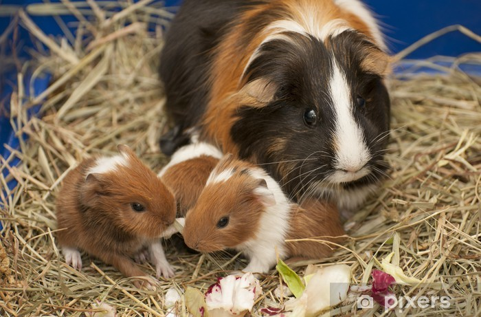Guinea pig family Vinyl Wall Mural - Wonders of Nature