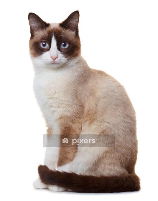 Muursticker Snowshoe kat, geïsoleerd op witte achtergrond - Thema's