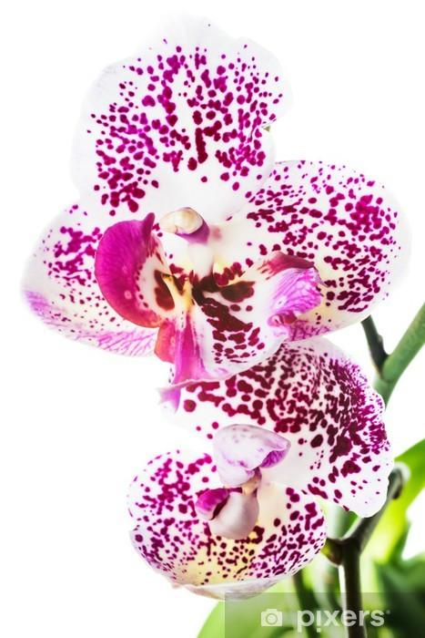 Kukkiva motley orkidea, eristetty valkoisella pohjalla Pixerstick tarra - Kukat