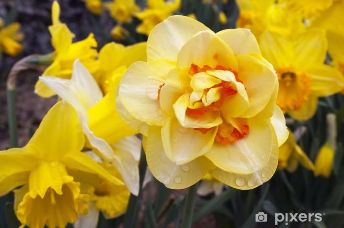 Vinyl-Fototapete Narzisse (Narcissus Anlage) - Jahreszeiten