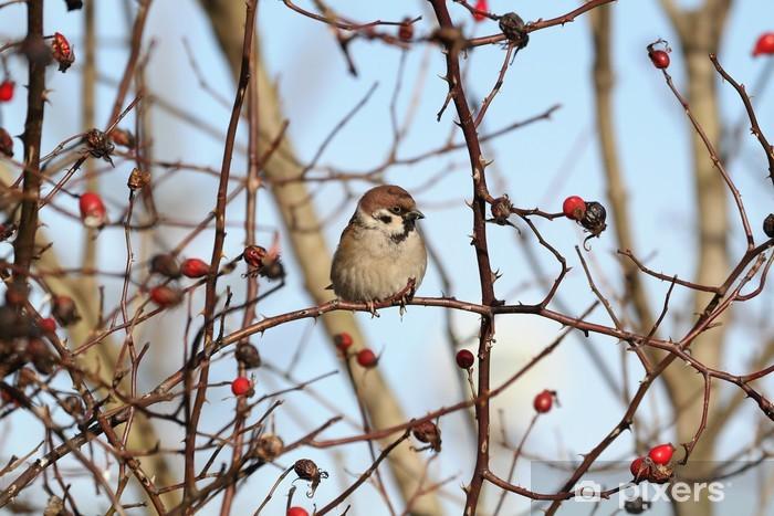 Fototapeta winylowa Eurasian Mazurek na gałęzi dzikiej róży - zima - Tematy