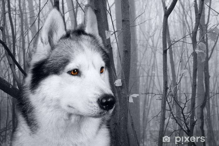 Fototapeta samoprzylepna Wilk w lesie - Husky