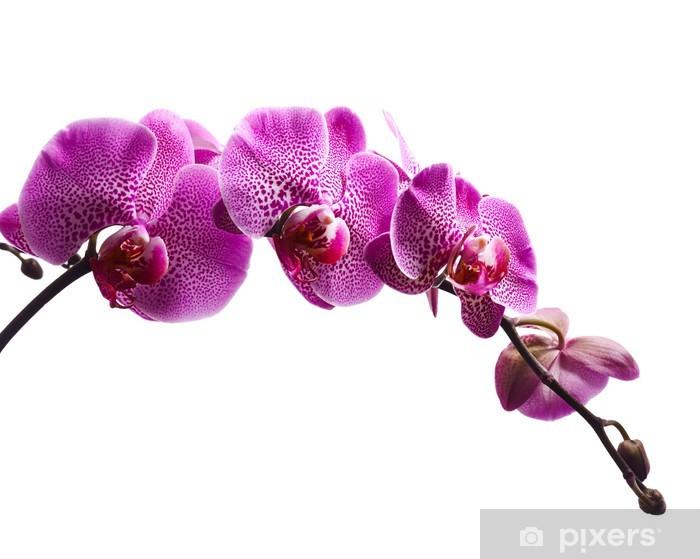 Sticker Pixerstick Des fleurs d'orchidée pourpre isolé sur fond blanc - Sticker mural
