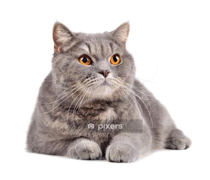 Muursticker Britse kat - Zoogdieren
