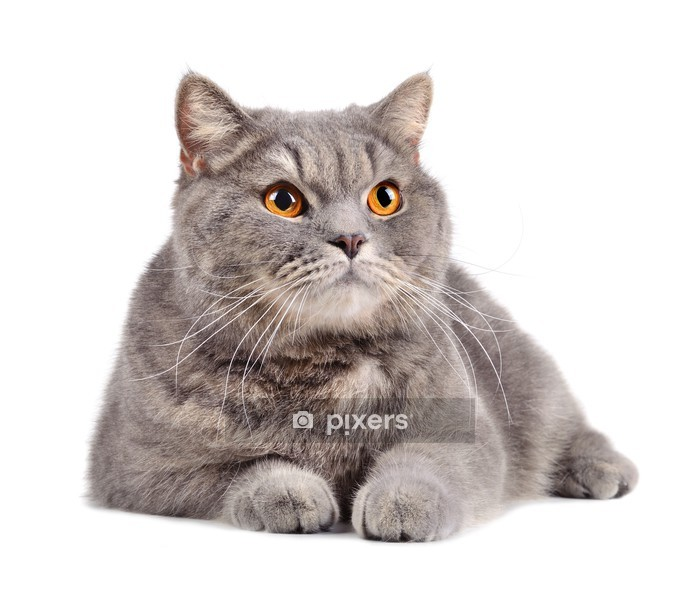 Naklejka na ścianę Kot brytyjski - Ssaki