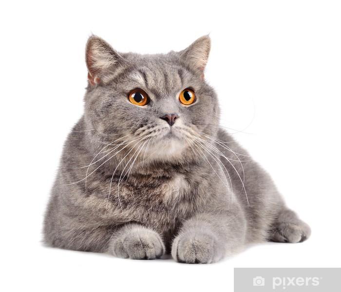 Pixerstick Sticker Britse kat - Zoogdieren