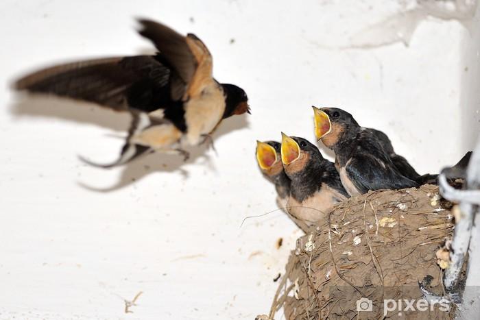 Fototapeta winylowa Barn Swallow młodych w gnieździe z otwartymi ustami - Ptaki