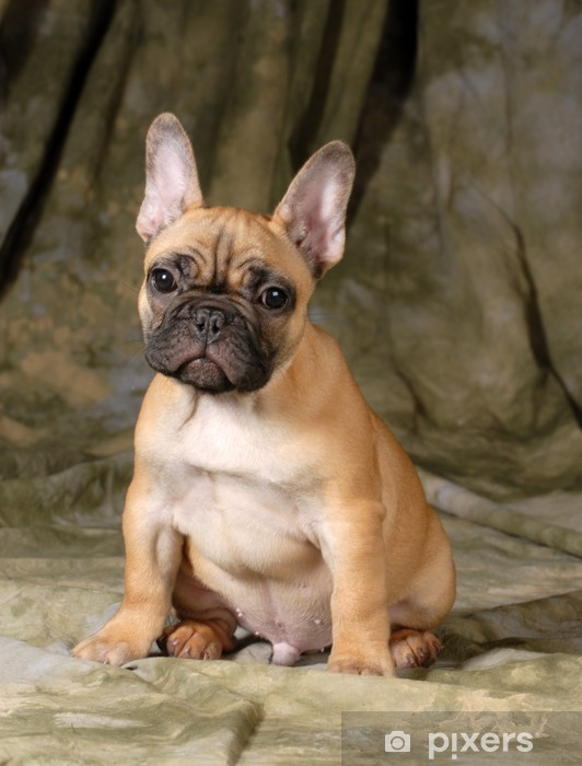 Naklejka Pixerstick Buldog francuski puppy - Buldogi francuskie