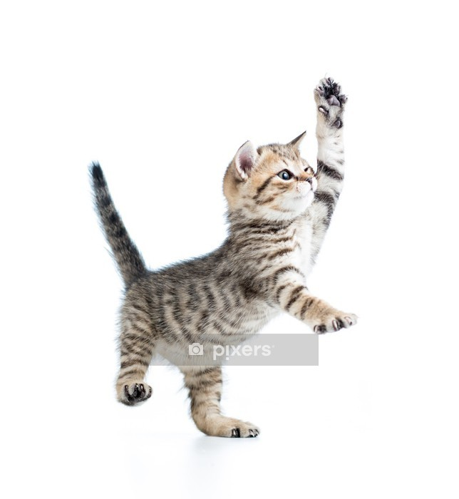 Muursticker Grappig speels kindje Schotse Britse kitten geïsoleerd op witte bac - Zoogdieren