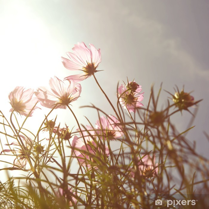 Afwasbaar Fotobehang Vintage Cosmos bloemen in zonsondergang tijd - Stijlen