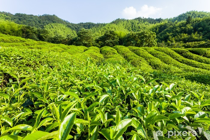 Pixerstick Aufkleber Grüner Tee-Garten auf dem Hügel, China Süden - Asien
