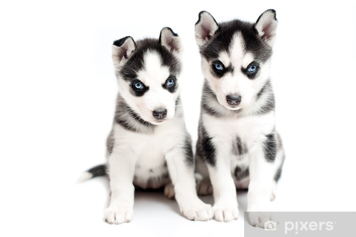 very young husky puppies on white background Wall Mural - Vinyl