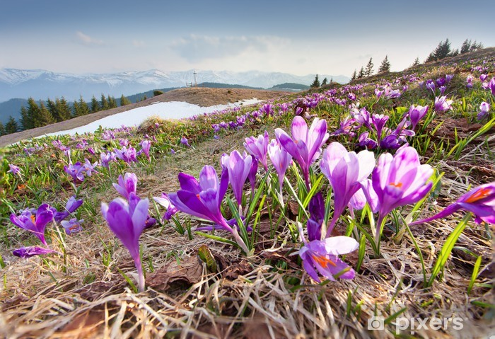 Blossom of crocuses at spring in the mountains Pixerstick Sticker - Mountains