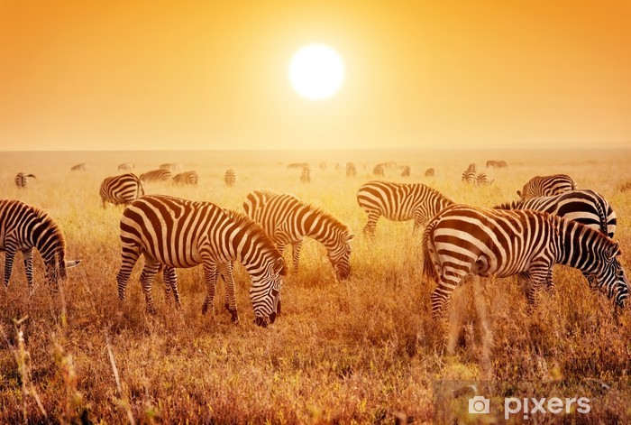 Fototapeta winylowa Zebry stado na afrykańskiej sawanny o zachodzie słońca. - Tematy