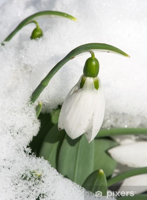 Naklejka Pixerstick Kwiat przebiśnieg w śniegu - Kwiaty