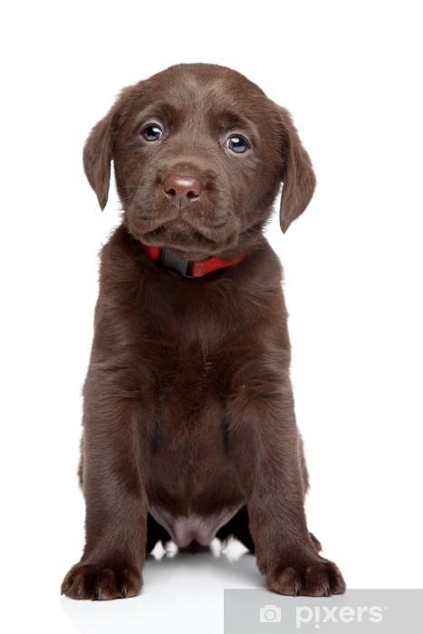 Papier peint vinyle Labrador chiot portrait - Mammifères